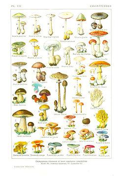 Cle determination des champignons
