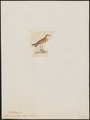 Charadrius geoffroyi - 1820-1860 - Print - Iconographia Zoologica - Special Collections University of Amsterdam - UBA01 IZ17200209.tif