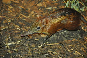 Checkered elephant shrew at Prague Zoo..jpg