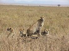الفهد 220px-CheetahFamilie