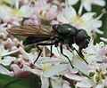 Cheilosia sp. (female) - Flickr - S. Rae (9).jpg