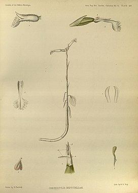 Cheirostylis griffithii - The Orchids of the Sikkim-Himalaya pl 397 (1889) - contrast.jpg