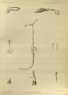 Cheirostylis griffithiiAbbildung 397 in:George King, Robert Pantling:The Orchids of the Sikkim-Himalaya(1897)