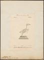 Chelidon urbica - skelet - 1842-1848 - Print - Iconographia Zoologica - Special Collections University of Amsterdam - UBA01 IZ16700191.tif