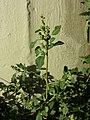 Chenopodium vulvaria sl15.jpg