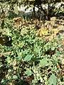 Chenopodium vulvaria sl92.jpg