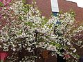 """Cherry-Blossom-Viewing through the """"Tunnel"""" at Japan Mint in 201504 019.JPG"""