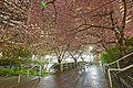 Cherry Blossoms @ Burrard Station (25514050271).jpg