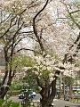 Cherry blossom 桜の花 (445085523).jpg