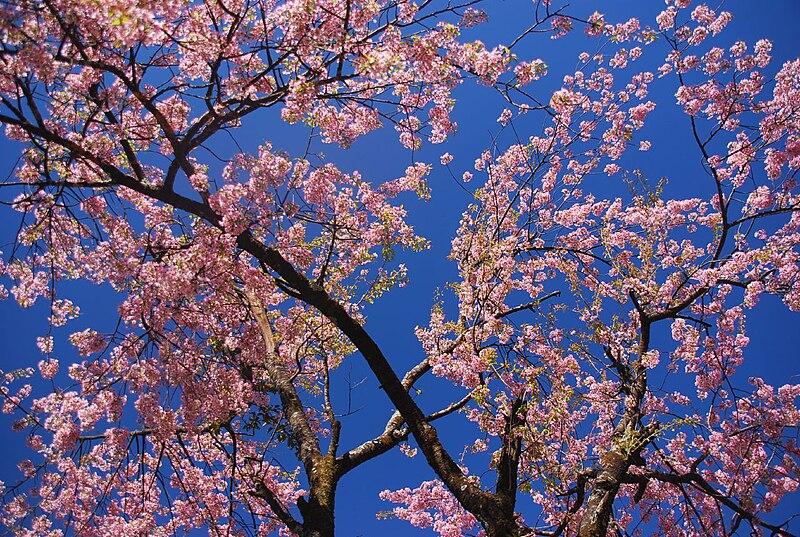File:Cherry blossom in Nepal.jpg