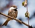 Chestnut-backed Chickadee (35954173181).jpg
