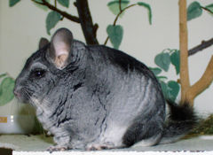 Chinchilla brevicaudata