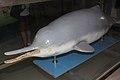 Chinese Baiji dolphin specimen Qi Qi.jpg