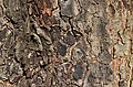 Chinese Elm Ulmus parvifolia (32-0052-A) Bark 2.JPG