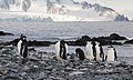 Chinstrap Penguins Half Moon Island Antarctica 13 (32394785007).jpg