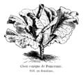 Chou conique de Poméranie Vilmorin-Andrieux 1904.png