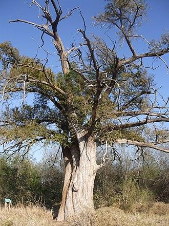 Megadrought - Montezuma Bald Cypress tree, 900 years old