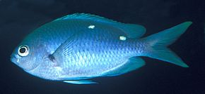 Chromis dispilus
