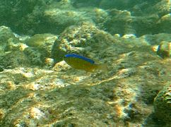 Young surge damselfish (Chrysiptera brownriggii)