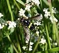 Chrysotoxum bicinctum (male) - Flickr - S. Rae (3).jpg