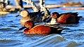 Cinnamon Teal Seedskadee NWR (16342954433).jpg