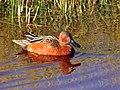 Cinnamon Teal on Seedskadee National Wildlife Refuge (26721878412).jpg