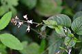 Circea lutetiana (8402660363).jpg