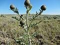 Cirsium flodmanii (27508330321).jpg