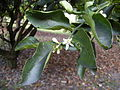 Citrus latifolia foliage and flower.jpg