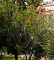 Clavellina (Caesalpinia pulcherrima) (14412931224).jpg
