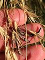 Claviceps purpurea 22109534.jpg