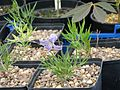 Clematis hirsutissima - Flickr - peganum.jpg