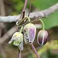 Clematis japonica (flower s13).jpg