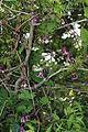 Clematis japonica wide.JPG