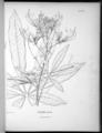 Cleome speciosa-Nova genera-V5-Tab 436-original.png