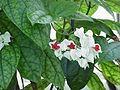 Clerodendron thomsoniae1.jpg