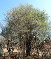 Clerodendrum glabrum, habitus, Waterberg.jpg
