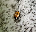 Coccinellidae - Flickr - gailhampshire.jpg