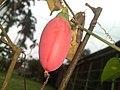 Coccinia grandis (Cucurbitaceae).jpg