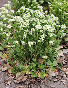 Cochlearia officinalis Prague 2012 1.jpg