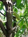 Cocoa theobroma-Sri Lanka (1).jpg