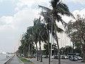Coconut trees (roxas blvd., malate, manila; 2014-10-25).jpg