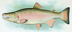 Coho Salmon Breeding Male.jpg
