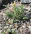 Coincya monensis plant (1).jpg