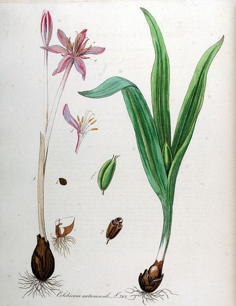 File:Colchicum autumnale — Flora Batava — Volume v10.jpg