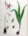 Colchicum autumnale — Flora Batava — Volume v10.jpg
