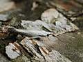 Coleophora anatipennella - Pistol case-bearer - Чехлоноска белокрылая (42087773785).jpg
