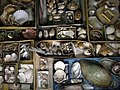 Collection de coquillages-Musée Oberlin.jpg