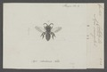 Colletes - Print - Iconographia Zoologica - Special Collections University of Amsterdam - UBAINV0274 045 05 0004.tif