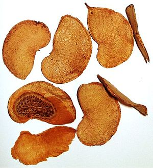 Mopane - The fruit are legumes which contain one seed each